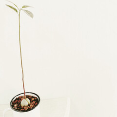 アボカドの種栽培/水耕栽培から鉢植えへ/観葉植物感/暮らし/おうちで楽しむ あのアボカドの種が こーーーんなになりま…
