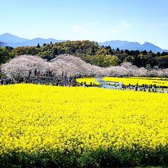 おでかけ/風景/春の一枚 春を満喫中ーーーーッ🎶 西都原古墳群の桜…(1枚目)