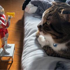 フィギュア/ウルトラマン/フォロー大歓迎/ペット仲間募集/猫/にゃんこ同好会 近いニャ。
