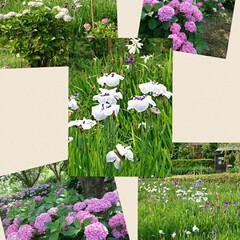 紫陽花/菖蒲池/フォロー大歓迎/暮らし 近くの公園 菖蒲と紫陽花のコラボでしたが…