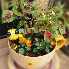 植え替え/ビオラ/コリウス/ダイソー 昨日 コキアを抜いてビオラを植えました …