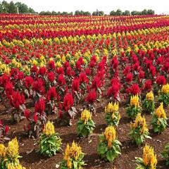 ケイトウ/花/東京ドイツ村/お出かけ 今日も友達とお花を見に😊 ケイトウが一面…