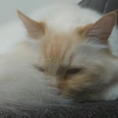 白猫/ラグドール/ペット/猫/にゃんこ同好会/おやすみショット しぐ様 寝顔は、撮影禁止ですかね? しっ…