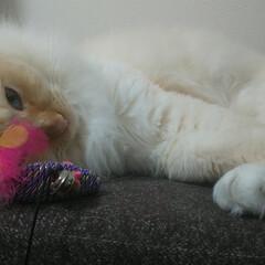 白猫/ラグドール/フォロー大歓迎/ペット/猫/うちの子ベストショット しぐ様 いっさい興味なしすっね^^