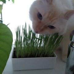 ラグドール/白猫/猫/ペット 食べづらい...
