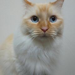 白猫/ラグドール/LIMIAペット同好会/猫/にゃんこ同好会/うちの子ベストショット しぐ様? なぜ、お目覚めに?