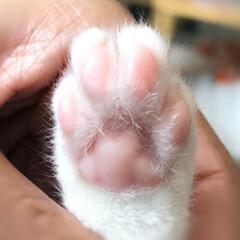 子猫/キジ白/LIMIAペット同好会/にゃんこ同好会 どうだ!!!🐈 これが子猫様の肉球だ😤笑…
