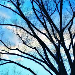 水色/落葉樹/自然/景色/風景/雲/... 冬の空に葉の落ちきった大木が逆光で生き生…