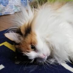 三毛猫/猫 今日も お疲れ様🐱💗 おやすみなさい🐈💤