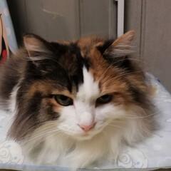 猫/三毛猫/天使/粘土/ハンドメイド/フォロー大歓迎 昨日は宮の毛玉を刈ってもらいに病院に連れ…