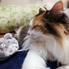 三毛猫/おやすみショット/LIMIAペット同好会/フォロー大歓迎/ペット/ペット仲間募集/... 今日も、お疲れ様にゃ🐈💕 おやすみなさい🌃