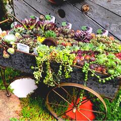 ガーデンインテリア/インテリア/暮らしを楽しむ/センペルビウム/デイズセンペル/多肉植物/... 寄せ植え(多肉植物:センペルビウム)🍀 …