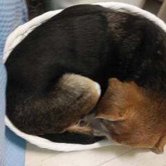 犬と暮らす 子犬一匹サイズの寝床だってば。大人のビー…