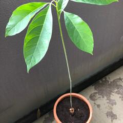 スタバカップ/観葉植物/アボカド/植え替え/令和の一枚/わたしのGW アボカドを水栽培から土に植え替えをしまし…(2枚目)
