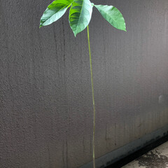 スタバカップ/観葉植物/アボカド/植え替え/令和の一枚/わたしのGW アボカドを水栽培から土に植え替えをしまし…(1枚目)