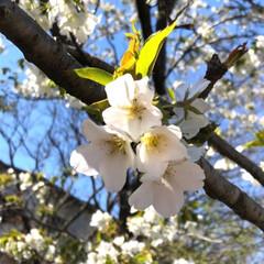 決意/花/季節/桜/春/ウォーキング/... 春ですね〜🌸 私の大好きな季節です。 気…