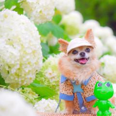 あじさい/梅雨時/ちわわ/チワワ/犬派/フォロー大歓迎/... ☔️🐌🐸梅雨の晴れ間のお散歩は楽しいぞぉ…
