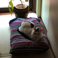 枕/ペット/猫/住まい 枕買い換え→古い方をUNIQLOのルーム…