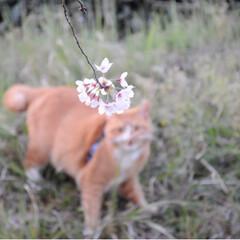 写真/さんぽ/茶トラ/ねこのきもち/LIMIAペット同好会/フォロー大歓迎/... ずっと咲いていたら良いのにニャー😻🌸😻(6枚目)