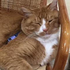 寝る子/トラ/ねこ/フォロー大歓迎/ペット/猫/... 寝るニャー😽