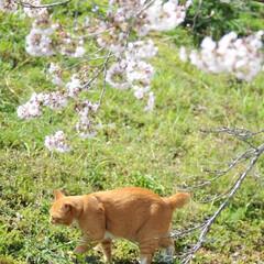 フォロー大歓迎/にゃんこ同好会/ねこにすと/ねこのきもち/晴れ/春/... 今日は天気が良くて桜も綺麗だニャー😻🌸☀…(5枚目)