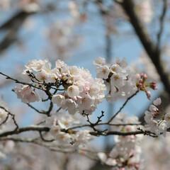 フォロー大歓迎/にゃんこ同好会/ねこにすと/ねこのきもち/晴れ/春/... 今日は天気が良くて桜も綺麗だニャー😻🌸☀…(9枚目)