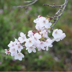 茶トラ/さんぽ/LIMIAペット同好会/フォロー大歓迎/ペット/ペット仲間募集/... 🌸春が来たニャー🌸😻😻😻(8枚目)