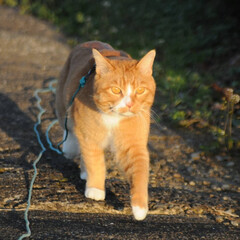 にゃんこ同好会/ねこのきもち/猫のいる暮らし/夕日/散歩/おでかけ/... 夕日の色が綺麗だニャー😻 ちょっと寂しい…(7枚目)