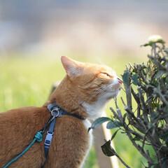 フォロー大歓迎/にゃんこ同好会/猫との暮らし/ねこのきもち/ねこにすと/散歩/... 桜を横目に楽しく散歩したニャー😻🌸😻🌸😻…(9枚目)