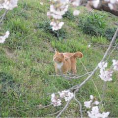 茶トラ/さんぽ/LIMIAペット同好会/フォロー大歓迎/ペット/ペット仲間募集/... 🌸春が来たニャー🌸😻😻😻(5枚目)