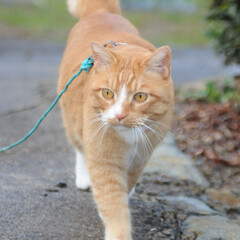 にゃんこ同好会/猫のいる暮らし/ねこのきもち/散歩/雨/おでかけ/... 今日は雨模様だったけど、散歩の時は降らな…