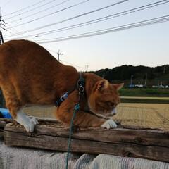 フォロー大歓迎/ねこのきもち/にゃんこ同好会/ねこ/散歩/猫 今日もしっかり爪研ぎして散歩に行くニャー…