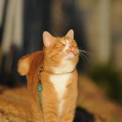 フォロー大歓迎/にゃんこ同好会/猫との暮らし/ねこのきもち/梅の花/散歩/... 梅の花の良い香りがするニャー😽😽😽 今日…
