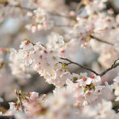 フォロー大歓迎/にゃんこ同好会/ねこにすと/ねこのきもち/春/桜/... 雨が上がったから今日も桜を見ながら散歩し…(6枚目)