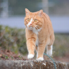 ねこのきもち/猫のいる暮らし/にゃんこ同好会/散歩/おでかけ/フォロー大歓迎 😸今日は体が軽いニャー🐾🐾🐾😻 スリスリ…(1枚目)