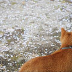 ねこ/茶トラ/ねこのきもち/さんぽ/LIMIAペット同好会/フォロー大歓迎/... 桜が散り始めてたニャー🌸😿🌸(2枚目)