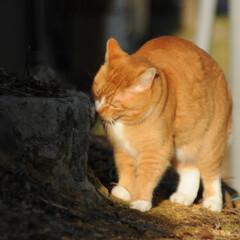 フォロー大歓迎/にゃんこ同好会/猫との暮らし/ねこのきもち/散歩/おでかけ 日向ぼっこは暖かくて気持ちいいニャー😻😻😻(8枚目)