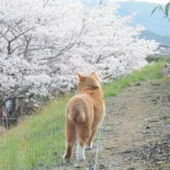 フォロー大歓迎/猫との暮らし/ねこにすと/ねこのきもち/満開/桜/... 桜が満開だニャー😸🌸🌸🌸 綺麗だニャー😻(9枚目)