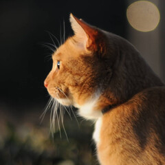 にゃんこ同好会/ねこのきもち/猫のいる暮らし/夕日/散歩/おでかけ/... 夕日の色が綺麗だニャー😻 ちょっと寂しい…(9枚目)