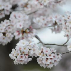フォロー大歓迎/猫との暮らし/ねこにすと/ねこのきもち/満開/桜/... 桜が満開だニャー😸🌸🌸🌸 綺麗だニャー😻(4枚目)