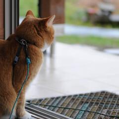 フォロー大歓迎/にゃんこ同好会/猫との暮らし/ねこにすと/ねこのきもち/雨/... 今日も雨だニャー😿☔ 寝るしかないニャー…(2枚目)