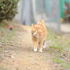 フォロー大歓迎/にゃんこ同好会/猫との暮らし/ねこにすと/ねこのきもち/散歩/... 桜が開花したニャー😻🌸🌸🌸 今日はポカポ…(9枚目)