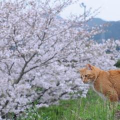 フォロー大歓迎/にゃんこ同好会/ねこにすと/ねこのきもち/花見/散歩/... 桜がだいぶん咲いてきたニャー🌸😻 雨が降…