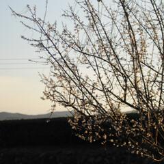 フォロー大歓迎/にゃんこ同好会/猫との暮らし/ねこのきもち/梅の花/散歩/... 梅の花の良い香りがするニャー😽😽😽 今日…(4枚目)