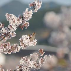 フォロー大歓迎/にゃんこ同好会/ねこにすと/ねこのきもち/桜/散歩/... 桜の木の上に鳥さん発見!🐦😻 一緒に遊び…(2枚目)