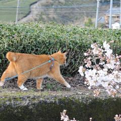 フォロー大歓迎/にゃんこ同好会/ねこにすと/ねこのきもち/春/桜/... 雨が上がったから今日も桜を見ながら散歩し…(8枚目)