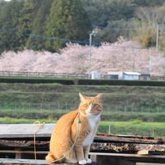 フォロー大歓迎/にゃんこ同好会/猫との暮らし/ねこのきもち/ねこにすと/散歩/... 山手の桜も咲いてるニャー🌸😻 行ってみた…