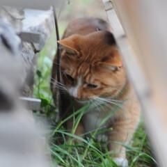 にゃんこ同好会/猫との暮らし/ねこのきもち/散歩/おでかけ まだ散歩したいニャー😿 帰らないニャー😽…(8枚目)
