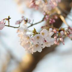 フォロー大歓迎/二分咲き/春/綺麗/さくら/桜 桜🌸いいね😄👍🌸🌸🌸 ポカポカ陽気にのっ…