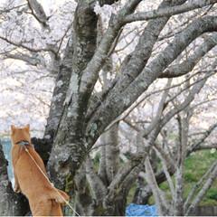 写真/さんぽ/茶トラ/ねこのきもち/LIMIAペット同好会/フォロー大歓迎/... ずっと咲いていたら良いのにニャー😻🌸😻